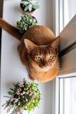 Abyssinische Katze, die auf dem Fensterbrett mit Heide und succul sitzt Lizenzfreie Stockfotografie