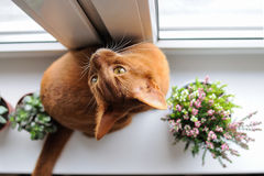 Abyssinische Katze, die auf dem Fensterbrett mit Heide und succul sitzt Lizenzfreie Stockbilder