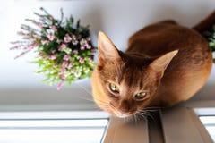 Abyssinische Katze, die auf dem Fensterbrett mit Heide und succul sitzt Stockbild