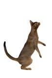 Abyssinische Katze, die auf seinen Hinterbeinen steht Lizenzfreie Stockbilder