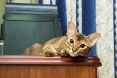 Abyssinische Katze, die auf Tabelle liegt und die Kamera betrachtet Stockfoto