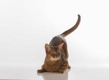 Abyssinische Katze, die auf weißem Hintergrund sitzt Getrennt auf weißem Hintergrund Endstück ist oben Lizenzfreies Stockfoto