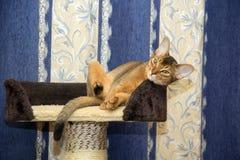 Abyssinische Katze, die in einem Korb auf Hintergrund von Vorhängen liegt Lizenzfreie Stockfotografie