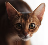 Abyssinische Katze, die entlang der Kamera anstarrt Lizenzfreies Stockfoto