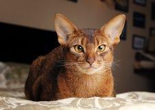 Abyssinische Katze, die im Bett liegt Lizenzfreie Stockfotos