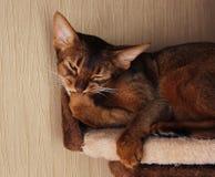 Abyssinische Katze, die im Katzenhaus liegt Lizenzfreies Stockfoto