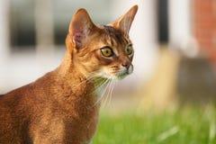 Abyssinische Katze, die mit einem grünen Spielzeug am Rasen im Garten spielt Lizenzfreies Stockfoto