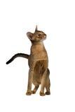 Abyssinische Katze, die mit einer neugierigen Schnauze halb-sitzt Stockfotos