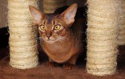 Abyssinische Katze, die nahe dem Verkratzen des Beitrags sitzt Lizenzfreie Stockfotos