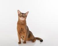 Abyssinische Katze, die oben sitzt und schaut Lokalisiert auf dem weißen Hintergrund Stockfotos