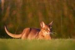 Abyssinische Katze, die am Rasen spielt Lizenzfreie Stockbilder