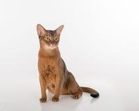 Abyssinische Katze, die recht sitzt und schaut Lokalisiert auf dem weißen Hintergrund Lizenzfreies Stockfoto