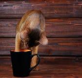 Abyssinische Katze, die versucht, von der großen schwarzen Schale zu trinken Stockfotos