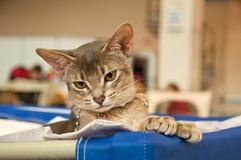 Abyssinische Katze an einer Ausstellung Lizenzfreie Stockfotografie