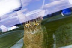 Abyssinische Katze hinter dem Glas Lizenzfreie Stockfotos
