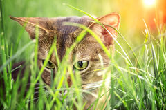 Abyssinische Katze im Garten Lizenzfreies Stockbild