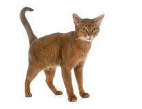 Abyssinische Katze im Studio Stockfoto