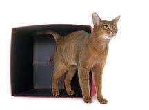Abyssinische Katze im Studio Stockfotografie