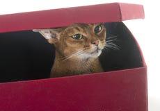 Abyssinische Katze im Studio Lizenzfreie Stockbilder