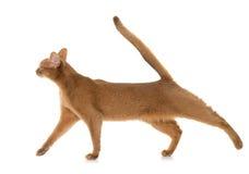 Abyssinische Katze im Studio Lizenzfreie Stockfotos