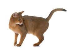 Abyssinische Katze im Studio Lizenzfreie Stockfotografie