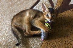 Abyssinische Katze, Kätzchen, das mit der Maus spielt Stockfotografie