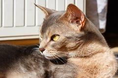 Abyssinische Katze liegt auf der Terrasse in der Sonnenlichtnahaufnahme Lizenzfreie Stockfotografie
