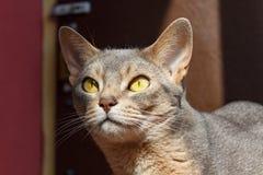 Abyssinische Katze liegt auf der Terrasse in der Sonnenlichtnahaufnahme Stockfoto