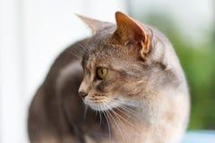 Abyssinische Katze liegt auf der Terrassennahaufnahme Lizenzfreies Stockbild
