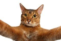 Abyssinische Katze lokalisiert auf Weiß Stockfoto