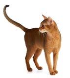 Abyssinische Katze lokalisiert auf weißem Hintergrund Stockbild