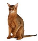 Abyssinische Katze lokalisiert auf weißem Hintergrund Lizenzfreie Stockbilder