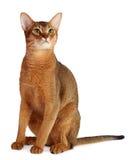 Abyssinische Katze lokalisiert auf weißem Hintergrund Stockfoto