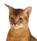 Abyssinische Katze lokalisiert auf weißem Hintergrund Lizenzfreies Stockfoto