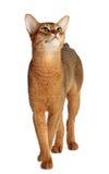 Abyssinische Katze lokalisiert auf weißem Hintergrund Lizenzfreie Stockfotos