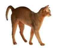 Abyssinische Katze lokalisiert auf weißem Hintergrund Lizenzfreies Stockbild