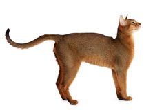 Abyssinische Katze lokalisiert auf weißem Hintergrund Stockfotografie