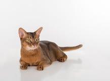 Abyssinische Katze mit dem langen Schwanz, der auf dem weißen Hintergrund liegt Stockfotos