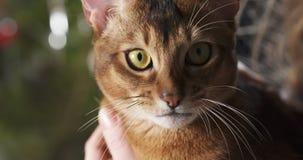 Abyssinische Katze sitzend auf Knien und eigenhändig gestrichen Lizenzfreie Stockbilder
