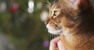 Abyssinische Katze sitzend auf Knien und eigenhändig gestrichen Lizenzfreie Stockfotografie