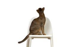 Abyssinische Katze sitzt auf einem Stuhl mit seinem zurück Lizenzfreies Stockbild