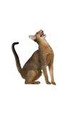 Abyssinische Katze sitzt und schreit Lizenzfreies Stockfoto