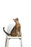 Abyssinische Katze sitzt und schreit auf einem Stuhl Stockfotografie