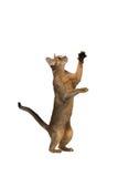 Abyssinische Katze spielt Stellung auf seinen Hinterbeinen Stockbild