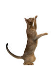 Abyssinische Katze spielt Stellung auf seinen Hinterbeinen Lizenzfreie Stockfotos