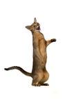 Abyssinische Katze spielt Stellung auf seinen Hinterbeinen Lizenzfreie Stockbilder