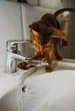 Abyssinische Katze trinkt Wasser Lizenzfreie Stockfotos