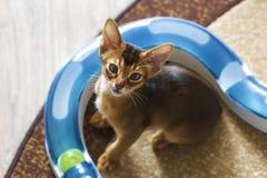 Abyssinische Katze und ein kleines Ingwerkätzchen Stockbilder