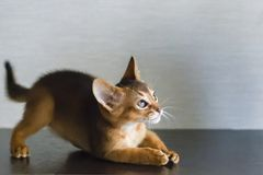 Abyssinische Katze und ein kleines Ingwerkätzchen Stockbild
