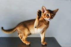 Abyssinische Katze und ein kleines Ingwerkätzchen Lizenzfreie Stockfotos